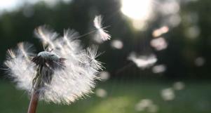 dandelion nature sunlight