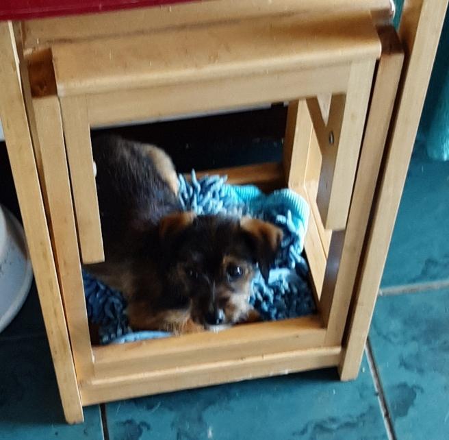 puppy in folding steps