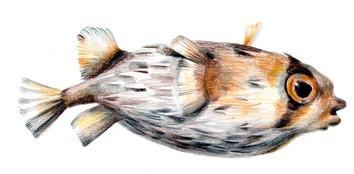 puffer fish, deflated