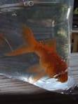 goldfish in bag