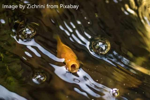 goldfish gasping