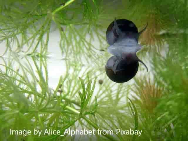 water snails