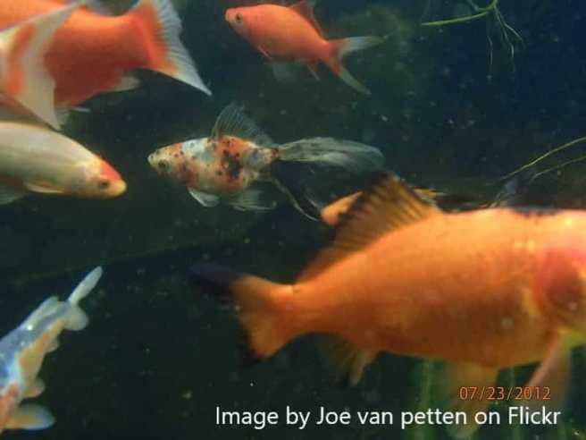 mixed goldfish