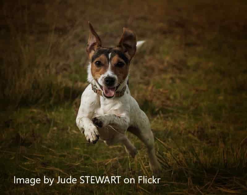 terrier running
